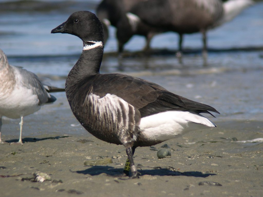 Brant with leg band