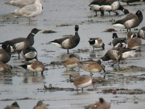 Brant and Wigeon by Guy Monty